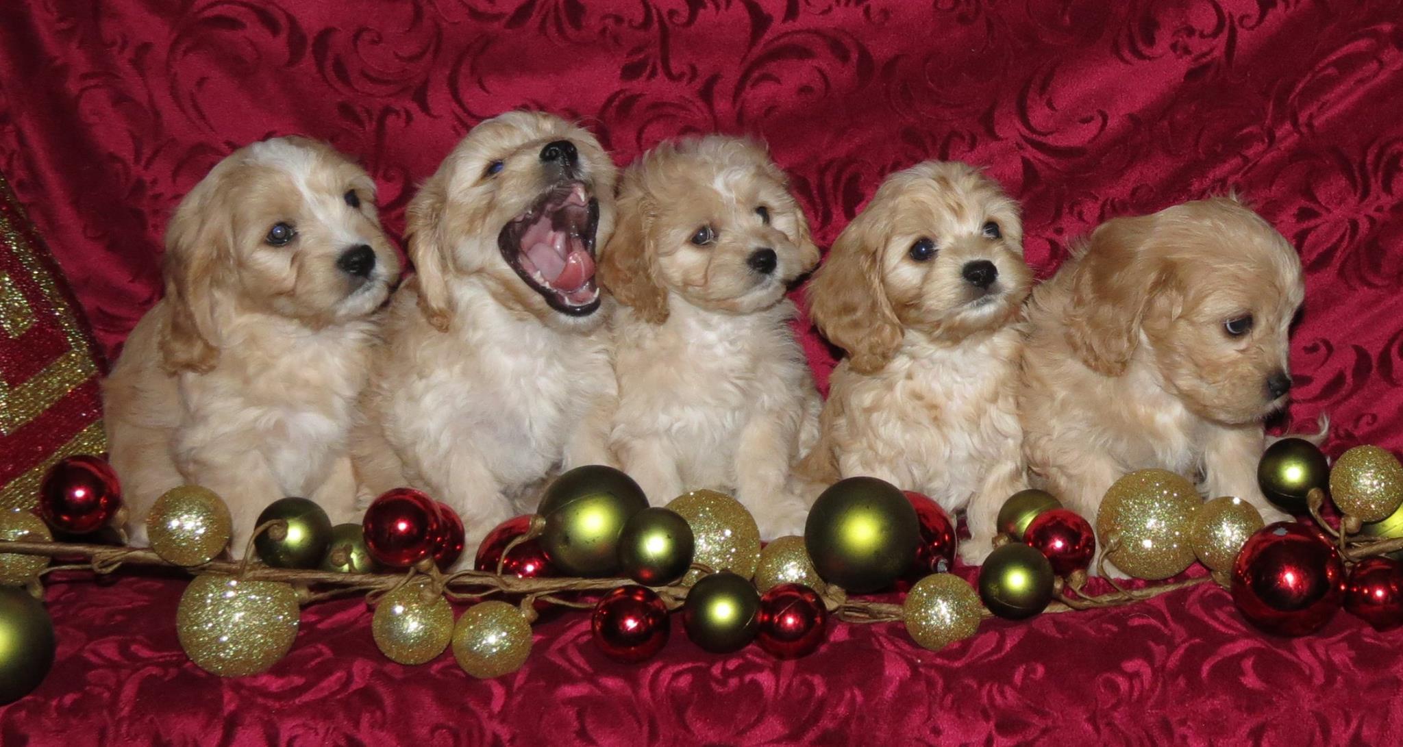 Cavachon Puppies for sale near me