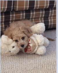Rusty king of toys cavachons for sale